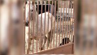 Desata polémica hallazgo de un caballo muerto en Englewood