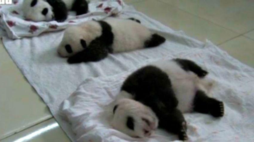 china-panda--