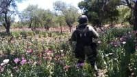 Incineran seis plantíos de amapola y marihuana en Sonora