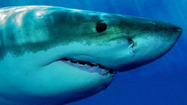 tlmd_tiburon_ss