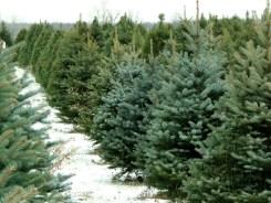 Razones para comprar un árbol natural esta Navidad
