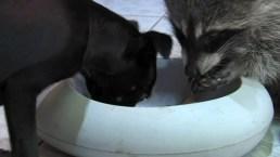 Inesperada amistad: perrito y mapache viven como hermanos