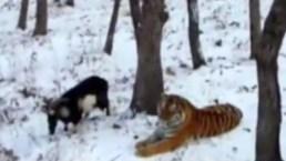 Se enamoran un tigre y una cabra