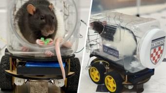 Ratas al volante: el insólito estudio que se hizo viral