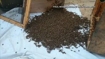 Sacan enorme panal de abejas de una casa en Australia