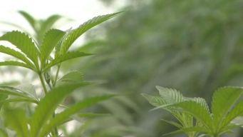 Un vistazo dentro de la cultivación de marihuana en Illinois