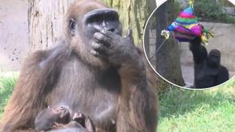 Tierna sorpresa: zoo de Texas revela género de gorila bebé con una piñata