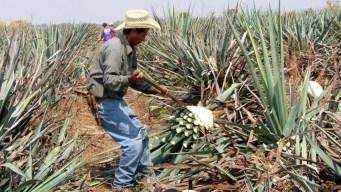 Con ingenio y tecnología protegen el tequila
