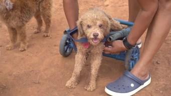 Paraguaya confecciona sillas de ruedas para mascotas