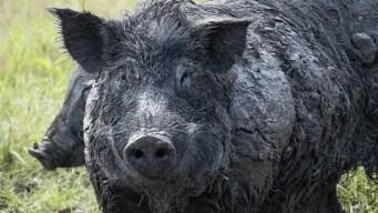 Cerdos desatados atacan una ciudad