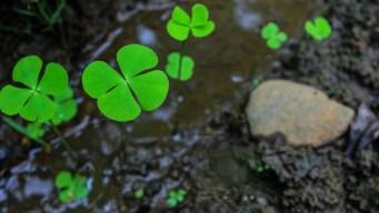 Trébol de cuatro hojas: regalo natural de buena suerte
