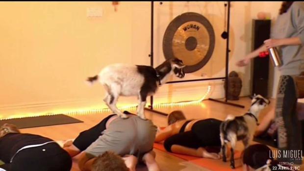 Causan furor las clases de yoga con cabras