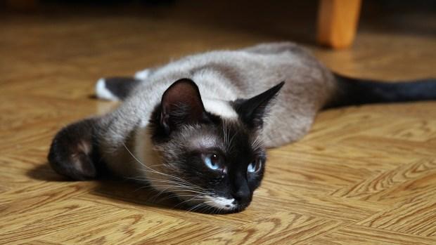 Gatos hipoalergénicos que no te harán estornudar