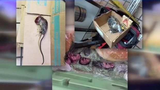 [TLMD - McAllen] Investigan infestación de ratas en Burger King en Harlingen