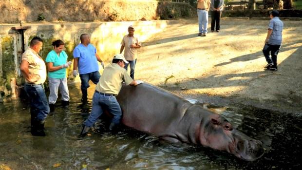 [TLMD - NATL] Consternación por muerte de Gustavito, hipopótamo agredido