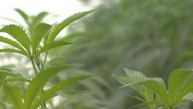 Un vistazo al cultivo de la marihuana en Illinois