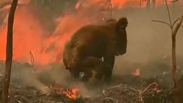 Entre llamas: el desgarrador rescate de un koala