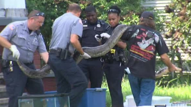 Video: Confiscan gigantescos reptiles en Texas