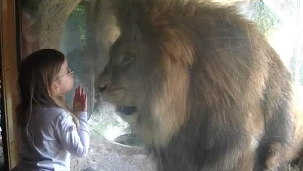Video: Niña puede más que león