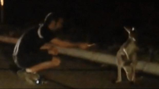 Video: Un canguro perdido en Texas