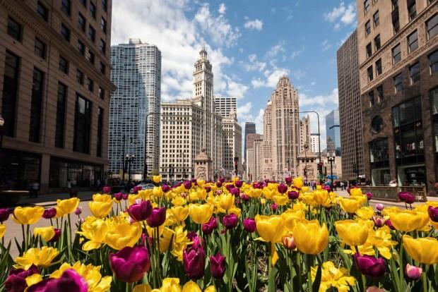 El secreto de los 110,00 tulipanes que florecen en Chicago