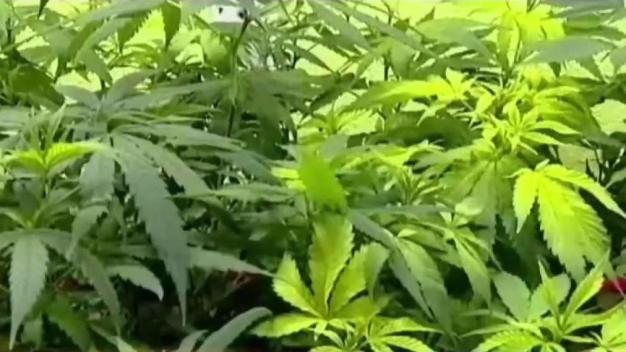 Fuerte respaldo a la legalización de la marihuana en Condado Cook