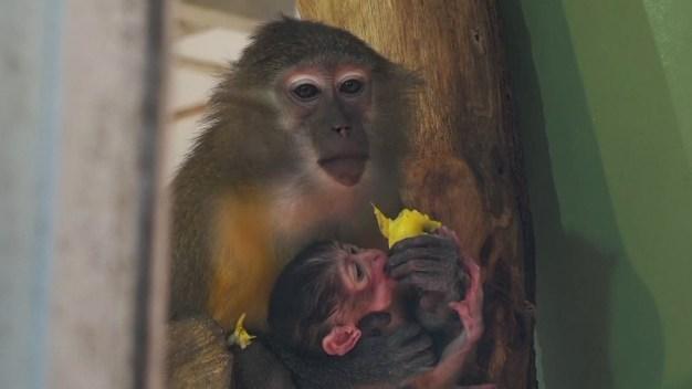 Hungría: nace adorable y peculiar mono de panza dorada