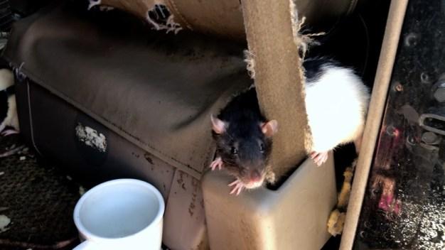 Fuera de control: vivía con más de 300 ratas como mascotas