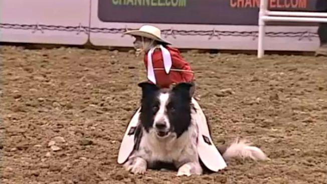 Monito vaquero causa sensación en el rodeo