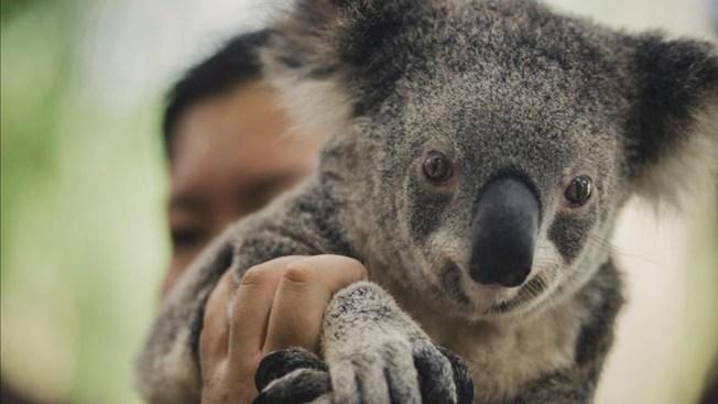 Proponen sacrificio masivo de koalas