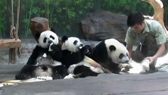 Los únicos pandas trillizos cumplen un año