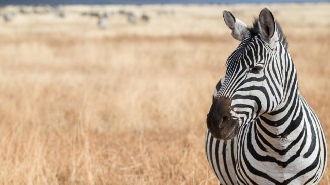 Zimbabue ofrece carne de cebra en Italia