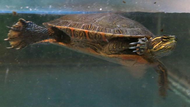 Casos de salmonela ligados a tortugas mascota en Illinois