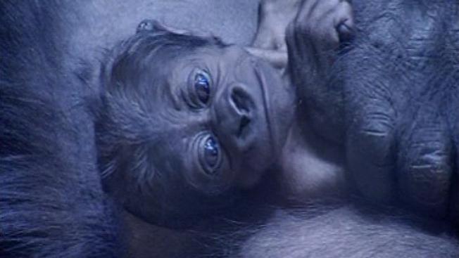 Bebé gorila herida en el Lincoln Park Zoo