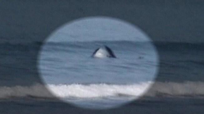 Ballena mata a tiburón