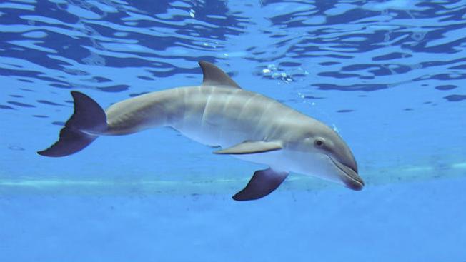 Muere delfín recién nacido en Brookfield