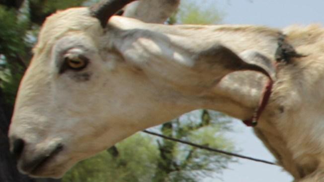 Hallan cuerpo de cabra decapitada