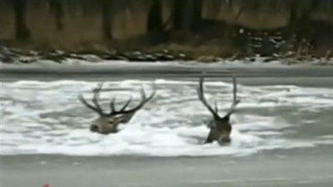 Salvan a dos ciervos de morir congelados