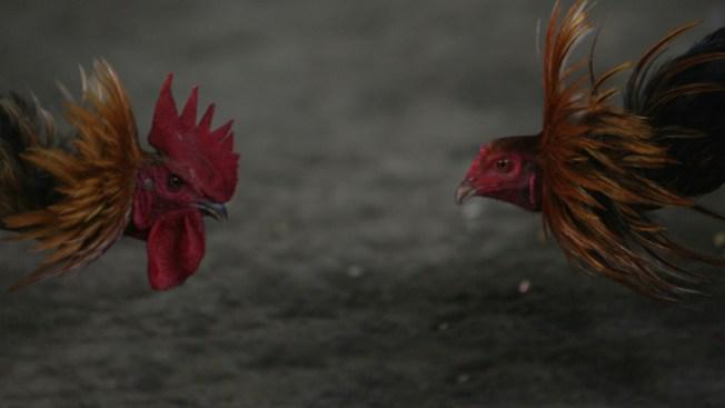 Cientos de gallos serán sacrificados