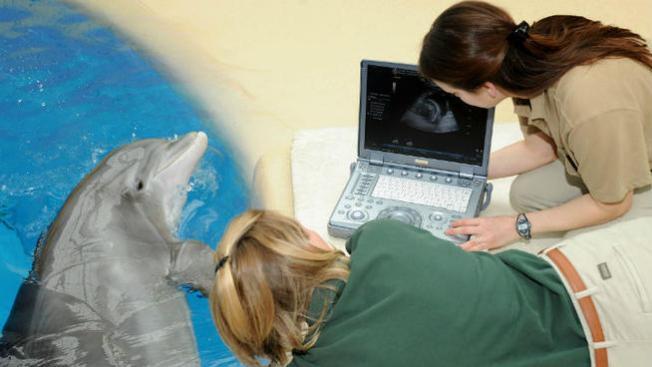 3 delfines embarazadas en el zoológico