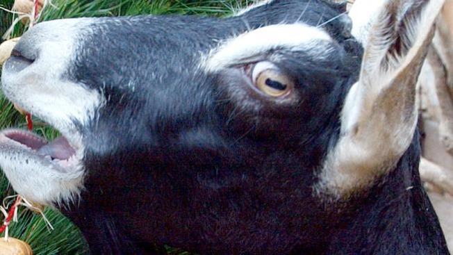 Envían cabeza de cabra a Wrigley Field