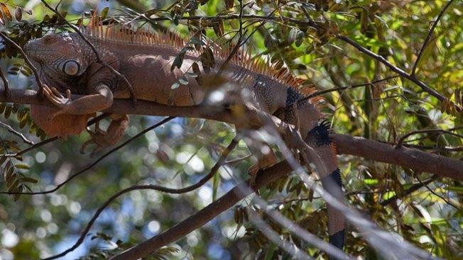 Ante la escasez, a comer iguanas