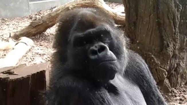 """El gorila """"Jojo"""" se muda de casa"""