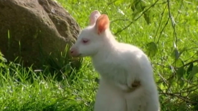 Extraño bebé canguro albino