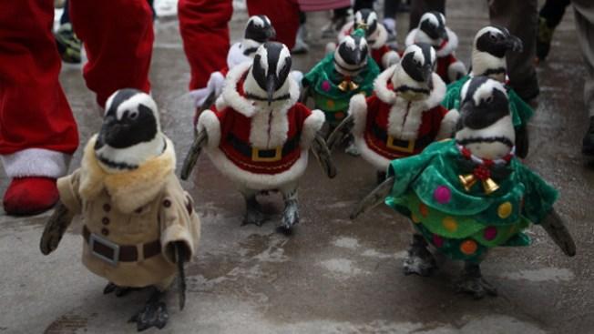 Divertido desfile de pingüinos navideños