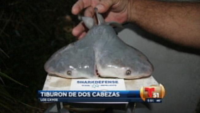 Florida: hallan tiburón de dos cabezas
