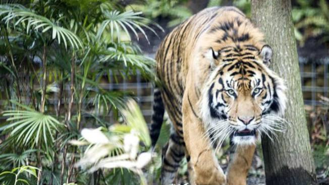 Tigre daña severamente brazo de mujer