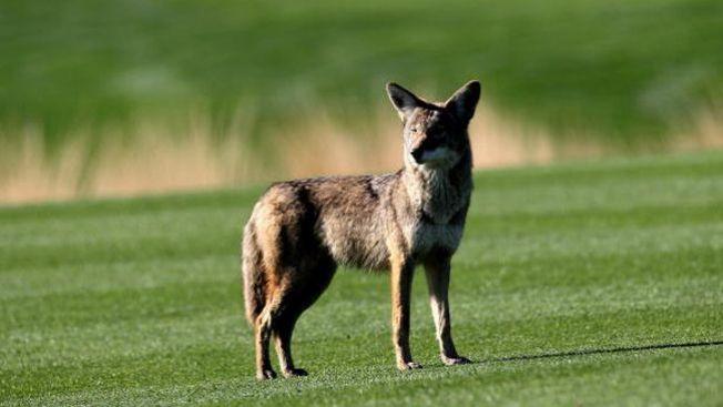 Temporada de coyotes