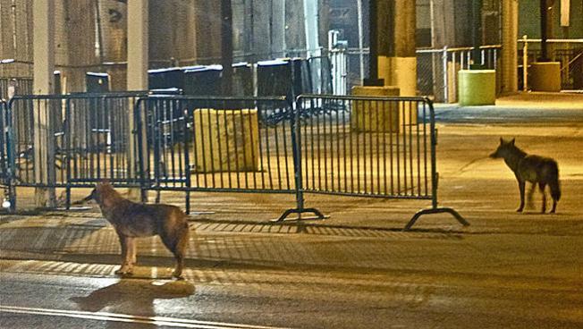 Coyotes salvajes en Wrigleyville