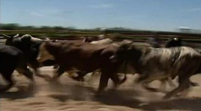 San Fermín en Cícero: Carrera con toros